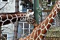Giraffe Koelner Zoo 01.JPG