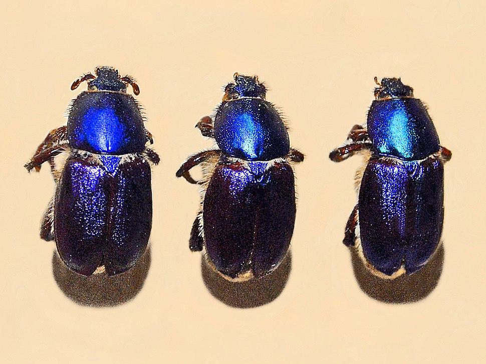 Glaphyridae - Glaphyrus maurus