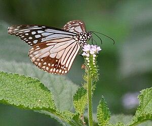 Parantica aglea -  Subspecies Parantica aglea melanoides on Indian turnsole (Heliotropium indicum) at Jayanti in Buxa Tiger Reserve in Jalpaiguri district of West Bengal, India
