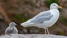Glaucous gull with chick