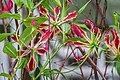 Gloriosa superba in Botanischer Garten Muenster (4).jpg