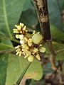 Glycosmis pentaphylla 09.JPG