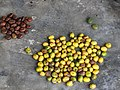 Gmelina arborea Fruit seed (3) 02.jpg