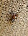 Gnaphosidae (Drassodes lapidosus?) (33735633680).jpg
