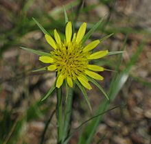 Goats beard Tragopogon dubius close.jpg