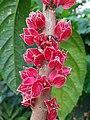 Goethea strictiflora 2.jpg