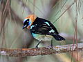 Golden-hooded Tanager.jpg