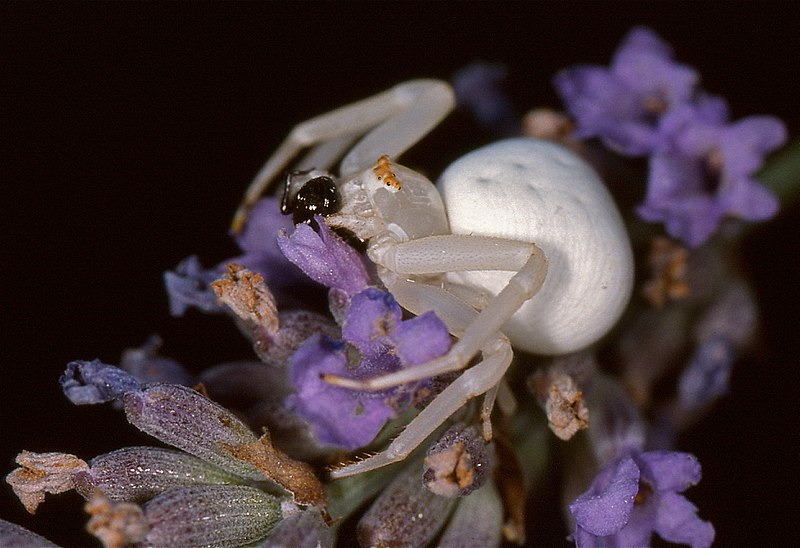 File:Goldenrod Crab Spider (Misumena vatia) eating a Jumping Spider (Salticidae) ... (36433242926).jpg