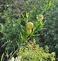 Gomphocarpus physocarpus, b, Kirstenbosch.jpg