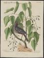 Goniophea violacea - 1700-1880 - Print - Iconographia Zoologica - Special Collections University of Amsterdam - UBA01 IZ16000153.tif