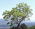 Gori - tree.jpg