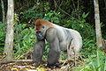 Gorilla gorilla04.jpg