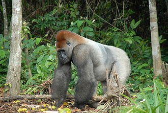 Tropical rainforest - Western lowland gorilla