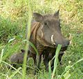 Gorongosa - warthogs.JPG