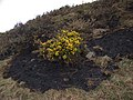 Gorse amidst burnt patch - geograph.org.uk - 705482.jpg
