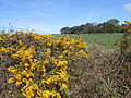 Gorse on the public footpath near Frankby Cottage, Wirral (3).JPG