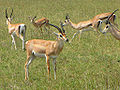 Grant's Gazelles, Serengeti.jpg