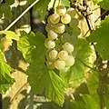 Grapes - Flickr - Stiller Beobachter.jpg