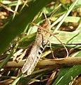 Grasshopper (29150723664).jpg