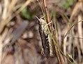 Grasshopper (35298681123).jpg