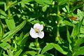 Gratiola officinalis.jpg