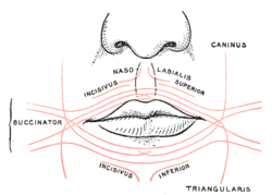 of fibers of Orbicularis oris  triangularis labeled at bottom rightTriangularis Muscle