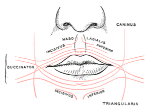Levator anguli oris - Scheme showing arrangement of fibers of Orbicularis oris.