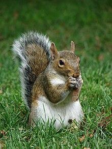 Grey squirrel, an introduced species in Great Britain