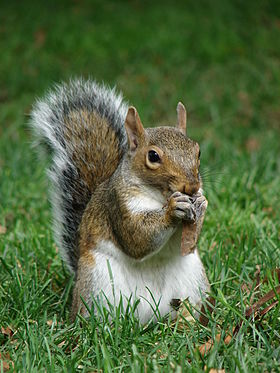 Gray squirrel (Sciurus carolinensis) in Boston Public Garden September 2010.jpg
