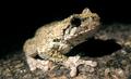Gray treefrog (5880845404).png