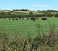 Grazing cattle near to Medbourne - geograph.org.uk - 564825.jpg