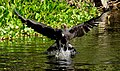 Great Black Hawk (Buteogallus urubitinga) catching a piranha thrown in the water by our boatman.jpg
