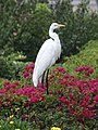 Great Egret (44423829932).jpg