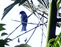 Greater-Racket tailed Drongo - Mugilu Homestay.jpg