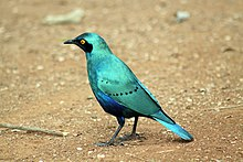Greater blue-eared glossy-starling (Lamprotornis chalybaeus), Kruger National Park, South Africa (14988496302).jpg