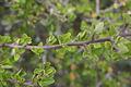 Grewia robusta02.jpg