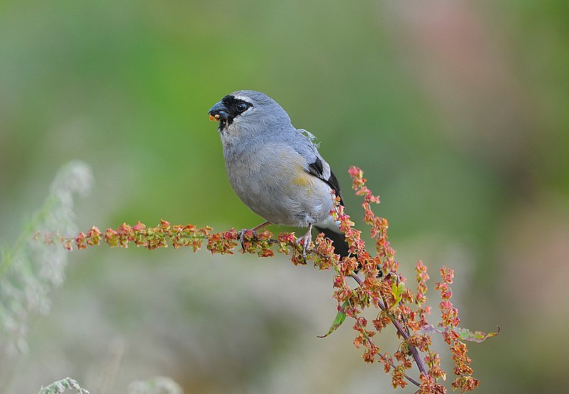 File:Grey-headed Bullfinch.jpg
