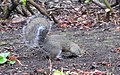 Grey Squirrel (30340111526).jpg