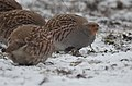 Grey partridge (47369504621).jpg