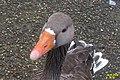 Greylag goose (25576585361).jpg