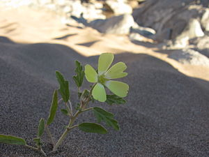Grielum - Grielum humifusum in the wild in Namibia. This specimen has unusually narrow petals and entire leaves.