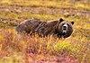 Grizzly Denali edit.jpg