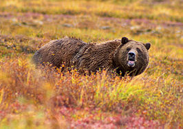 Grizzlybeer in Denali Nationaal Park