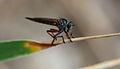 Gros moustique (14519144686).jpg