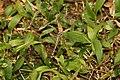 Ground skimmer(Diplacodes trivialis) 5282.jpg