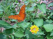 Gulf Fritillary Butterfly on a Lantana 18.jpg