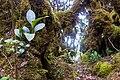 Gunung Irau (The Mossy Forest) (26159713006).jpg