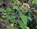 Gymnanthemum coloratum, vrugtepluim, Jan Celliers Park.jpg