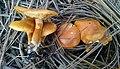 Gymnopilus humicola 591147.jpg