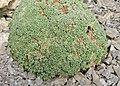 Gypsophila aretioides kz01.jpg
